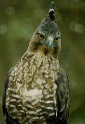 ElangJawa (Spizaetus bartelsi)