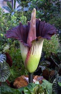 Bunga bangkai raksasa (Amorphophallus titanum)