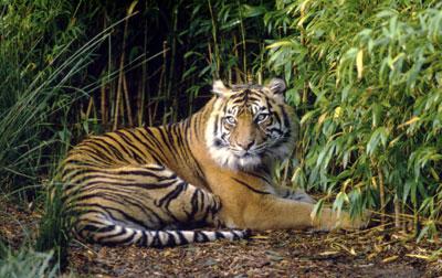 Harimau Sumatera atau Sumatran Tiger