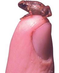 Katak terkecil dari Papua, Oreophryne minuta