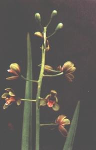 BUnga Anggrek Hartinah (Cymbidium hartinahianum)