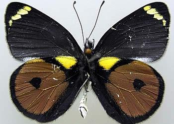 kupu-kupu Delias Kristianiae tampak atas