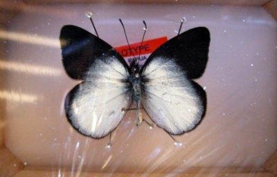 kupu-kupu Delias Kristianiae tampak bawah