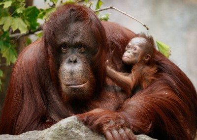 Orangutan dan bayinya