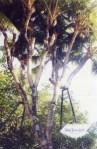Pohon Kelapa dengan Cabang Terbanyak