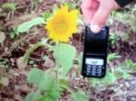 Tanaman bunga matahari Terpendek