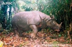 Badak Jawa Rhinocerus sondaicus