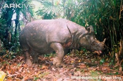 Badak Jawa gambar terpopuler di Alamendah's Blog