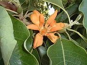 Bunga-Jeumpa-Michelia_champaca