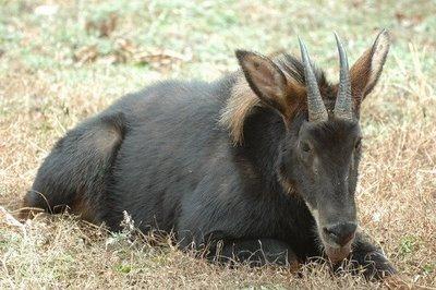Kambing-sumatera-Capricornis-sumatraensis