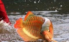 ikan siluk merah