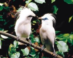 Leucopsar rothschildi