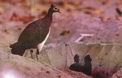 Sepasang Male sedang menggali tempat telurnya