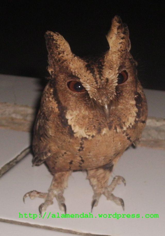 Burung Hantu Itu Datangi Masjid Alamendah S Blog