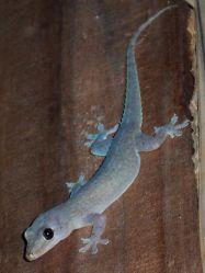 Cicak Kayu Hemidactylus frenatus