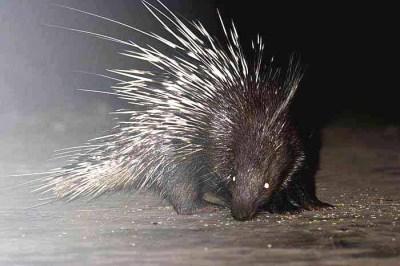 landak malayan porcupine