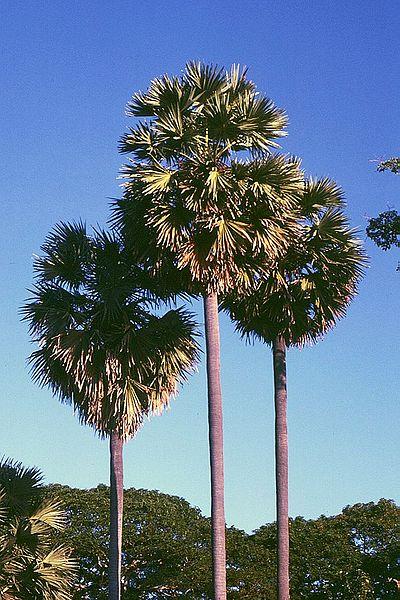 Pohon Lontar Borassus flabellifer