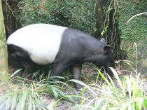 Tapir Asia Tapirus indicus