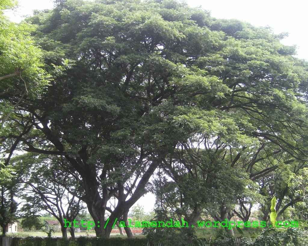 Pohon hujan atau ki hujan merupakan tumbuhan pohon besar dengan