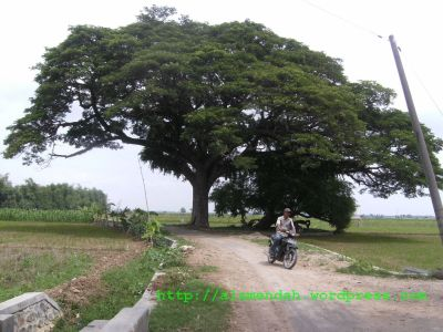 Gambar pohon Trembesi atau Bungur