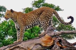 Macan Tutul Jawa di atas dahan