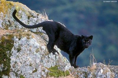 Macan Tutul Jawa berbulu hitam biasa disebut Macan Kumbang