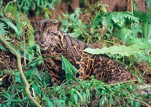 Macan Dahan hewan endemik Kalimantan dan Sumatera