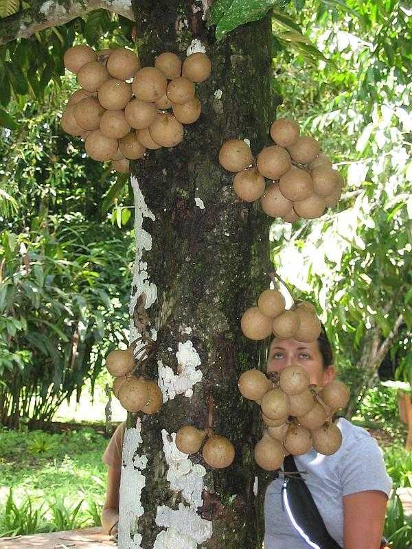 Buah kepel di pohonnya