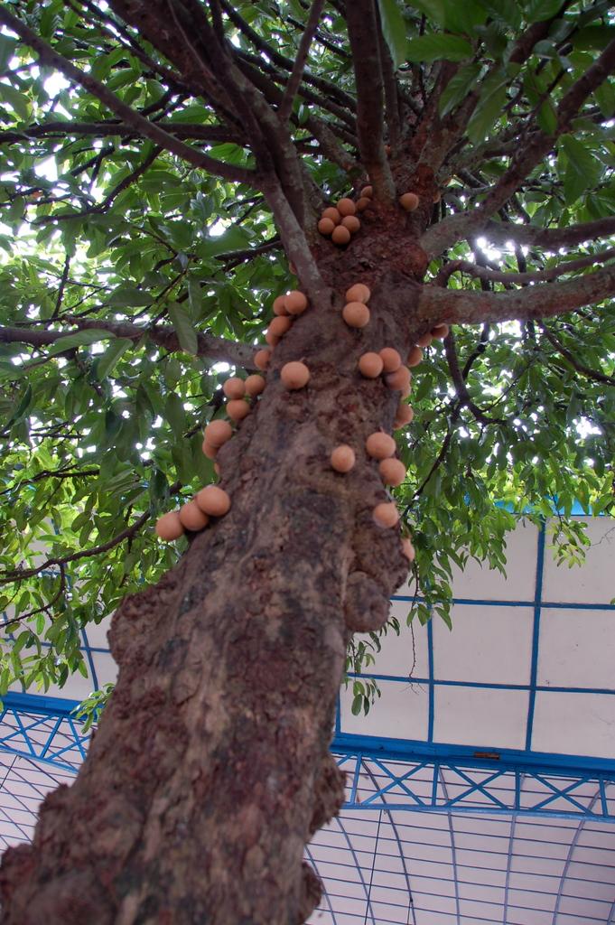 Burahol/Kepel (Stechocarpus burahol)
