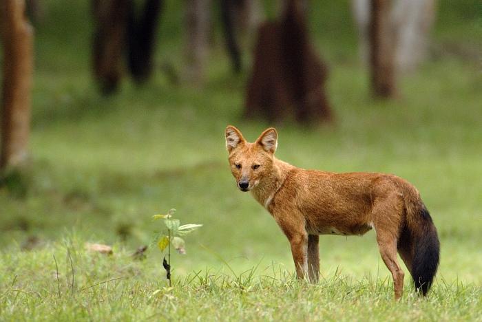Logika Larangan Memelihara Anjing Ajag-cuon-alpinus