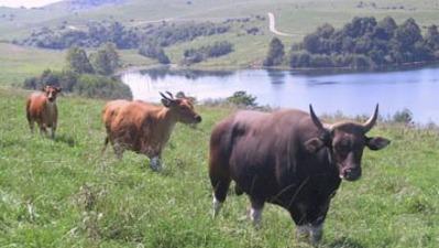 banteng (Bos javanicus)