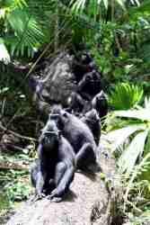 Kera Hitam Sulawesi dalam kelompok