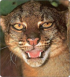 Kucing Merah (Pardofelis badia)