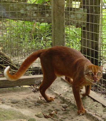 Kucing Merah atau Borneo Bay Cat