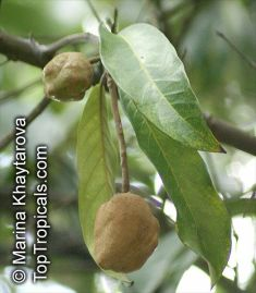 Pohon Kokoleceran Maskot Provinsi Banten Yang Misterius
