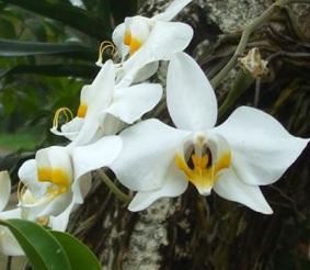 Anggrek bulan (Phalaenopsis amabilis)