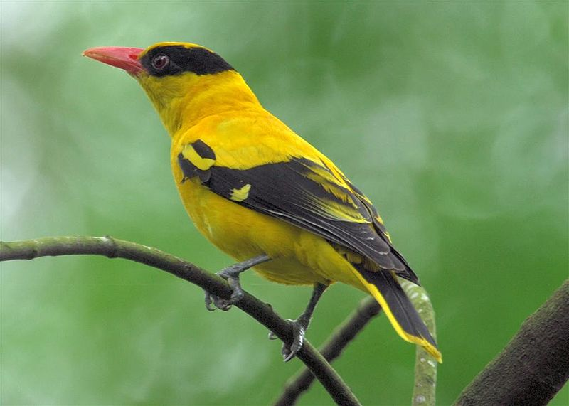 http://alamendah.files.wordpress.com/2010/04/burung-kepodang-black-naped-oriole.jpg