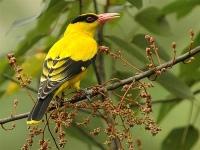 Burung-Kepodang-Oriolus-chinensis01