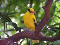suara burung ciblek prenjak penthet bahkan suara burung