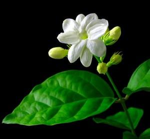 Gambar bunga Melati Putih (Jasminus sambac)