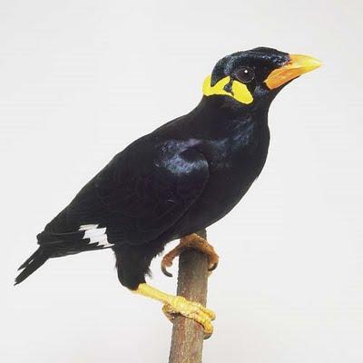 Beo Nias Burung