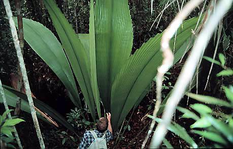 Daun sang, tanaman unik yang panjang daunnya mencapai 6 meter
