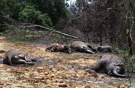 gajah mati tak meninggalkan gading Pemprov Riau Minta Polisi Usut Pembunuh 5 Ekor Gajah Liar