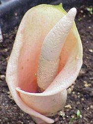 Mengenal Bunga Bangkai Amorphophallus Dan Jenis Macamnya Alamendah S Blog