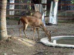 merupakan salah satu rusa asli Indonesia selain rusa bawean Rusa Timor Sebagai Hewan Ternak