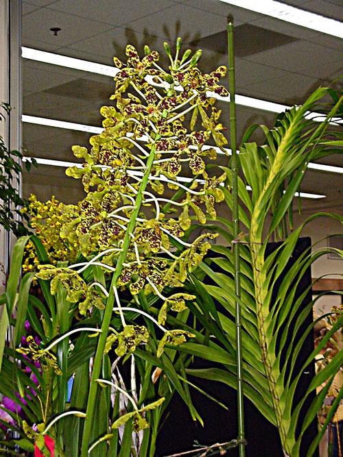 Anggrek Tebu Grammatophyllum Speciosum Anggrek Terbesar Alamendah S Blog