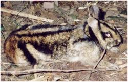 Kelinci Belang Sumatera, ras kelinci asli Indonesia