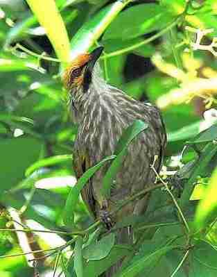 Burung cucak rawa (staw header bulbul)