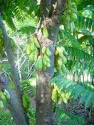 pohon blimbing wuluh