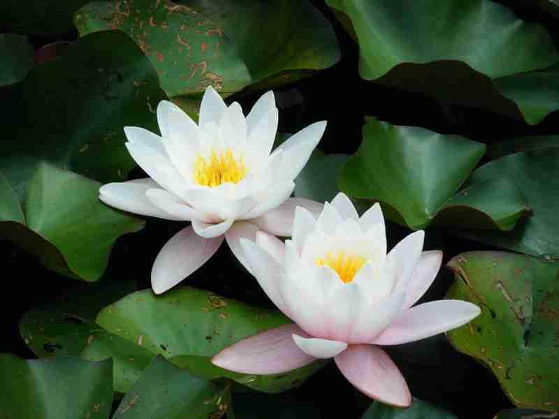 Teratai Tanaman Air Dengan Bunga Mempesona Alamendah S Blog